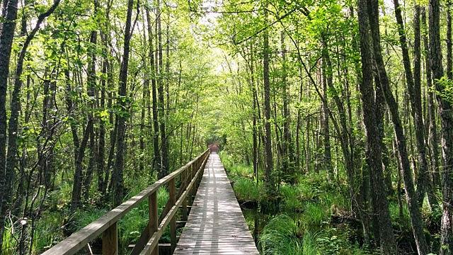 Bro genom sumpskogen