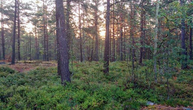 Morgonsol över skogsdungen